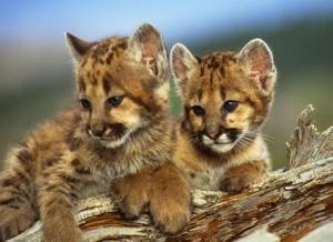 Mountain Lion Cubs2